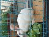 自家养的兔子,