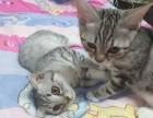 美短小奶貓