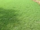 宁德园林绿化草业农户供应(马尼拉草皮 公园草皮 小区草坪)