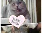 临沂伊甸园名猫 英国短毛猫蓝猫弟弟妹妹火爆预定中