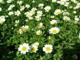 松果菊种植——品质好的节日草花供应尽在铭宸花卉苗木专业合作社