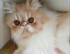 白菜价格出售加菲猫小母,只卖800元