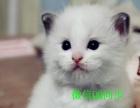 转让)布偶猫 海豹双色 蓝双色驱虫防疫齐全