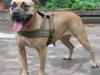 本場出售純種比特犬 比特幼犬 品相好 血統保證