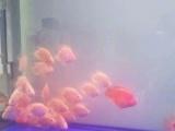 红色黄色元宝鹦鹉鱼处理