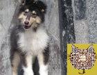 何处出售苏格兰牧羊犬 纯种苏牧多少钱