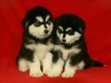 成都优良血统 纯种阿拉斯加犬 健康 活泼 已疫苗驱虫