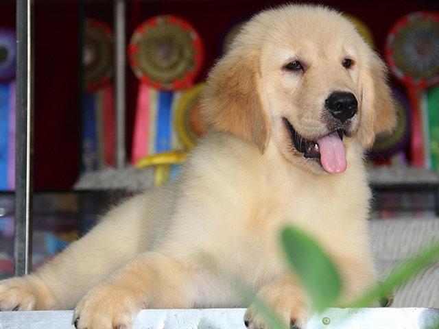 杭州低价出售 拉拉金毛 比熊泰迪 巴哥 博美雪纳瑞犬品种齐全