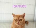 出售加菲小猫