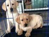 犬舍直销、拉布拉多犬、真实照片包纯种