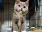 上海正规繁育家养纯种猫咪 有健康保障和良好售后