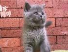 可爱与卖萌并存 蓝猫 蓝白 正规猫舍繁殖