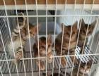 36天纯豹猫,自家繁育