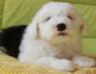 出售高品质白头通背古代牧羊犬 疫苗已做健康纯种