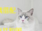 北京CFA布偶猫咪种公对外借配猫另有缅因种猫