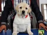出售聪明温顺英系拉布拉多犬疫苗已完善极品幼犬待售