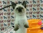 大耳朵长尾巴纯种暹罗猫自家养殖随时到家里来看猫