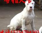 杜高犬多少钱一只 杜高幼犬价格