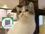 烟台哪里卖加菲猫 加菲猫价格 加菲猫哪里有卖