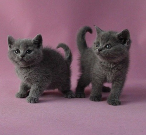 经典蓝色精灵蓝猫 家庭式繁殖 呆萌可爱 健康