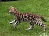 出售豹猫一窝公母上门自己挑选保健康和纯种