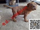 南昌小比特犬的训练 哪里有纯种比特犬幼崽出售