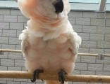 唐山金方全国大型鹦鹉出售