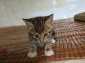 两只小猫咪可爱出售
