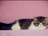 傲娇萌猫纯种波斯猫 美短渐层蓝白折耳宠物猫活体幼体