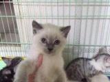 自家大猫繁殖的小猫找新家