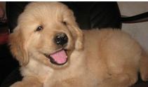 犬舍出售纯种金毛幼犬 价格500品质优良 签订活体协议