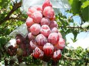 玫瑰香葡萄苗厂家-优质葡萄苗专卖