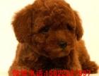 出售颜色齐全玩具茶杯贵宾幼犬疫苗已做完签保售后