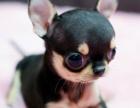 出售眼睛鼓鼓脑袋圆圆身体小小的纯种健康吉娃娃
