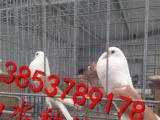 大鼻子鸽 哪里有精品开花大鼻子鸽 山水种鸽养殖场