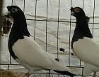 精品两头乌两头红鸽子多少钱一对呢