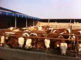 信得过肉牛养殖开发出售