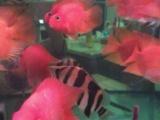 血红色鹦鹉靓鱼