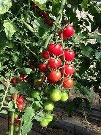 满城 呈祥有机草莓采摘园 欢迎您