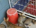豹猫繁殖基地对外批发