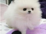 哈多利球体博美幼犬小体茶杯俊介小型犬纯种活泼可爱