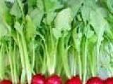 绿叶野菜樱桃罗卜/无公害蔬菜/新鲜蔬菜/酒店特菜/蔬菜配送