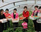 上海青浦赵屯有机草莓采摘郊外游玩农家乐野外周边
