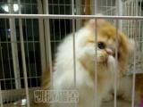 纯种健康波斯猫出售 敲萌敲可爱 保纯保健康