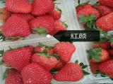奶油草莓苗生产商 奶油草莓苗 露天草莓苗几月份上市