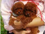 精品泰迪幼犬一证书齐全一血统纯正一签协议送用品