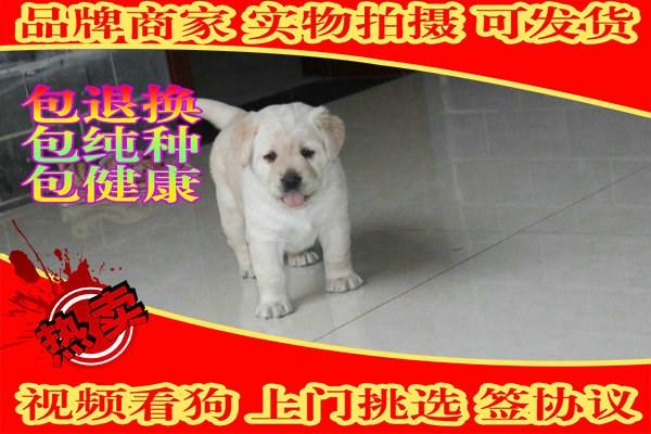 纯种拉布拉多幼犬 自家犬舍繁殖保健康纯种