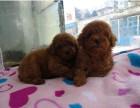 大头上海有泰迪幼犬卖 可送货视频选购 浦东现货