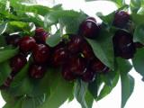 优质樱桃苗首推一边倒果树研究所|樱桃栽植技术