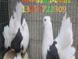东北在哪里可以买到观赏鸽凤尾鸽多少钱一只